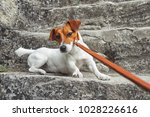 the jack russell dog stands on... | Shutterstock . vector #1028226616