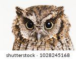 Stock photo photo of an owl in macro photography high resolution photo of owl cub the bureaucratic owl also 1028245168
