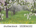 Spring Orchard  Blooming Apple...