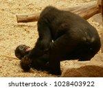 gorilla  one of the big five | Shutterstock . vector #1028403922