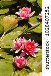 nymphaea   water lilies   ...   Shutterstock . vector #1028407252
