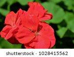 bright red flower closeup | Shutterstock . vector #1028415562