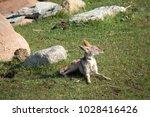 Small Coyote In The Dessert Sun