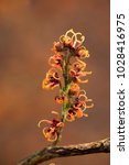 hamamelis x intermedia 'copper... | Shutterstock . vector #1028416975