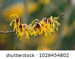 hamamelis x intermedia ' orange ... | Shutterstock . vector #1028454802