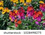 Beautiful Colored Wallflowers