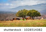 cows eating grass in the open... | Shutterstock . vector #1028514382