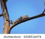 small black chameleon sitting... | Shutterstock . vector #1028516476