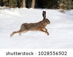hare running in the winter... | Shutterstock . vector #1028556502