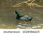Male cayuga duck in the wild. The cayuga duck is larger than a mallard and has iridescent green feathers