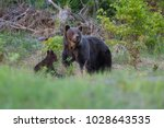brown bear with cubs in the... | Shutterstock . vector #1028643535