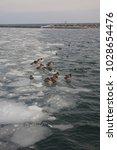 ducks on a frozen lake | Shutterstock . vector #1028654476