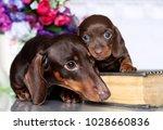 Bitch Dachshund And Puppy