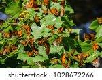 monarch butterfly biosphere... | Shutterstock . vector #1028672266