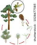 life cycle of pine tree. stages ... | Shutterstock .eps vector #1028677585