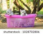 cute little french bulldog on... | Shutterstock . vector #1028702806