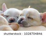 cute little french bulldog... | Shutterstock . vector #1028704846
