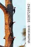three juvenile pileated...   Shutterstock . vector #1028725942