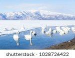 Whooper Swan Or Cygnus Cygnus...