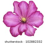 Purple Clematis Flower On White Background - stock photo