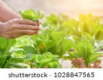 close up hand farmer in... | Shutterstock . vector #1028847565