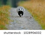 badger running forest road ... | Shutterstock . vector #1028906032