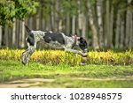 running drahthaar hunting dog | Shutterstock . vector #1028948575