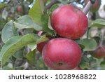 apple. grade jonathan. apples... | Shutterstock . vector #1028968822