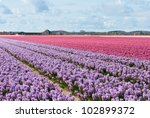 Beautiful Dutch Hyacinth Field...