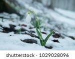 white gentle snowdrop in the... | Shutterstock . vector #1029028096