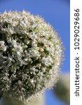Small photo of Blooming cultivar bulb onion (Allium cepa L.) against a blue sky in the summer garden