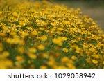 full frame of yellow flowers in ...   Shutterstock . vector #1029058942