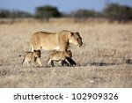 Lion female with young cubs - stock photo
