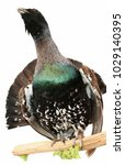 capercaillie taxidermy objects...   Shutterstock . vector #1029140395