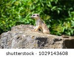 suricata looking forward in... | Shutterstock . vector #1029143608