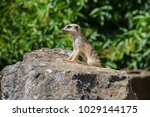 suricata looking forward in... | Shutterstock . vector #1029144175