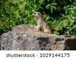 suricata looking forward in... | Shutterstock . vector #1029144175
