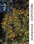 monarch butterfly biosphere... | Shutterstock . vector #1029191086