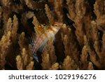 a juvenile coral hawkfish ...   Shutterstock . vector #1029196276