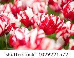 estella rijnveld tulip on a... | Shutterstock . vector #1029221572