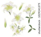 white lily flower isolated on... | Shutterstock .eps vector #1029241375