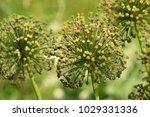 allium cristophii  persian... | Shutterstock . vector #1029331336