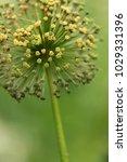 allium cristophii  persian... | Shutterstock . vector #1029331396