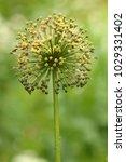 allium cristophii  persian... | Shutterstock . vector #1029331402
