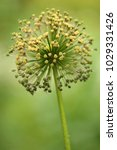 allium cristophii  persian... | Shutterstock . vector #1029331426