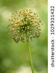 allium cristophii  persian... | Shutterstock . vector #1029331432