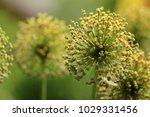 allium cristophii  persian... | Shutterstock . vector #1029331456