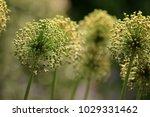 allium cristophii  persian... | Shutterstock . vector #1029331462