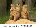 Group Of Prairie Dogs Standing...