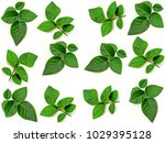 collage of rose leaves on white ... | Shutterstock . vector #1029395128